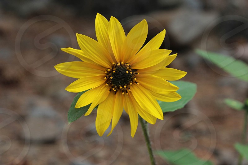 spring sunflower flower plant yellow nature landscape photo