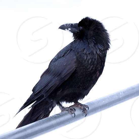 Portrait of large Common Raven Corvus corax perched on metal bar against a neutral white background photo