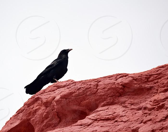 big black bird on desert rock formation photo
