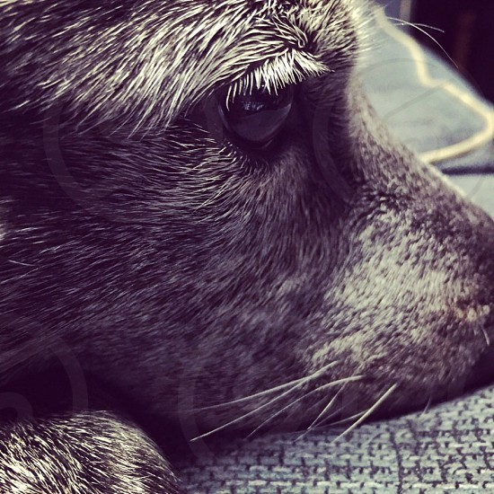 A look captivating attention looking thinking dog cattledog blackandwhite intense stare puppy  photo