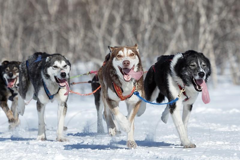 KAMCHATKA PENINSULA RUSSIAN FAR EAST - FEBRUARY 25 2017: Running Alaskan Sled Dog team during competitions - Kamchatka Sled Dog Race Beringia and Russian Cup of Sled Dog Racing (snow disciplines) photo