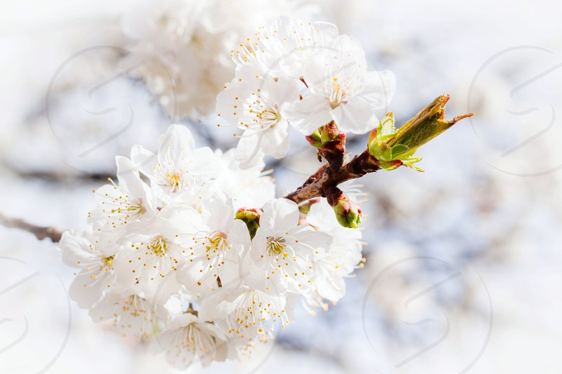 Flower of a cherry tree. photo