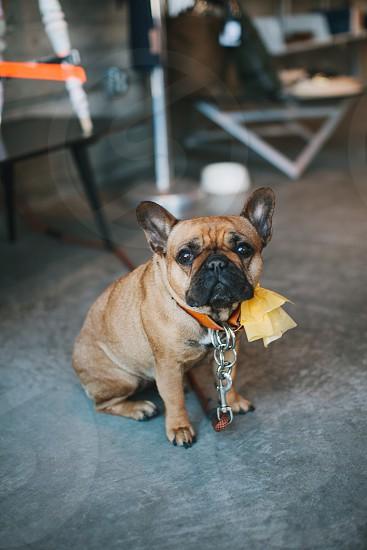 small brown tan short-haired bulldog photo