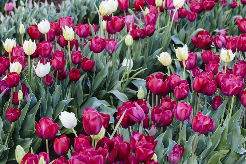 tulip tulips tulipa spring flowers bulbs flowering red white burgundy maroon purple field backgrounds photo