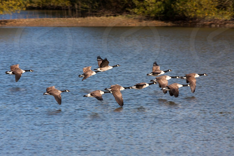 Canada Geese flying over Weir Wood Reservoir photo