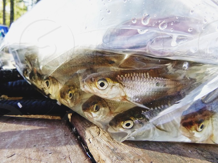 Minnows fish fishing photo