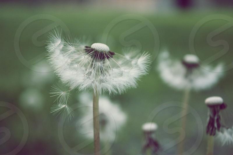 photo of white dandelion photo