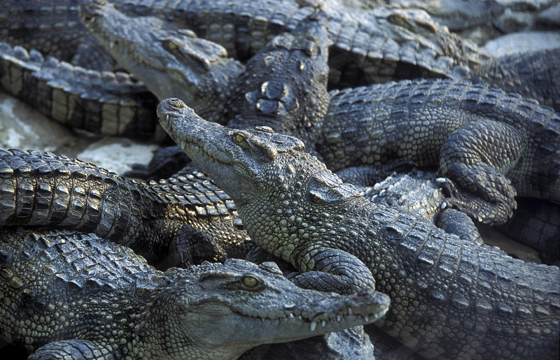a crocodile farm near of the Town of Sihanoukville in cambodia in southeastasia.  photo