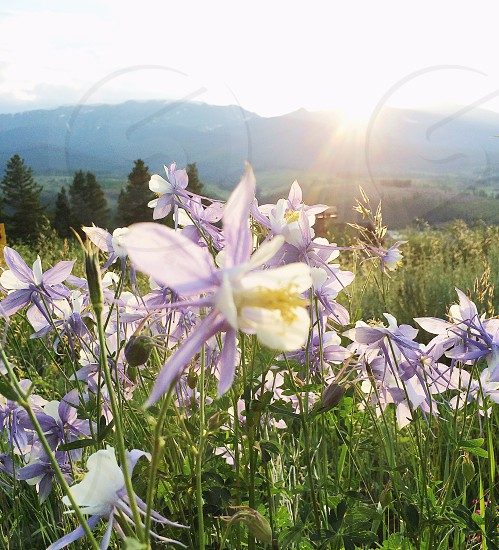 purple and white columbine flower field selective-focus photo at daytime photo