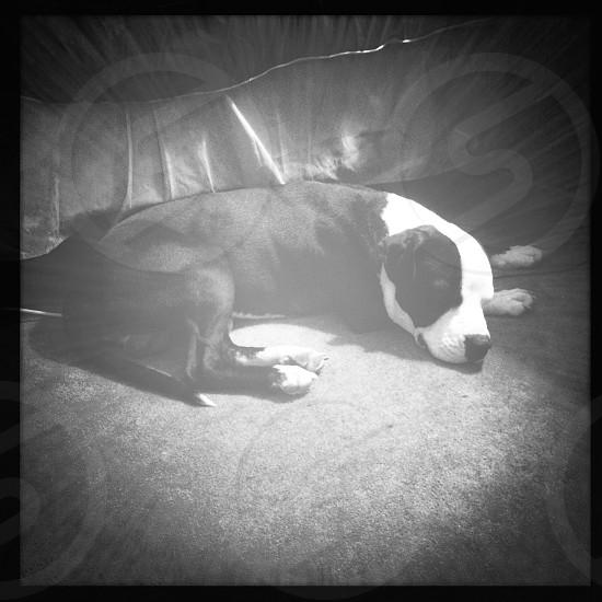 My new pit puppy Kush photo