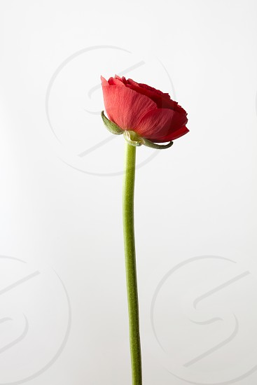 colorful ranunculus flower on white background isolated valentines day concept photo