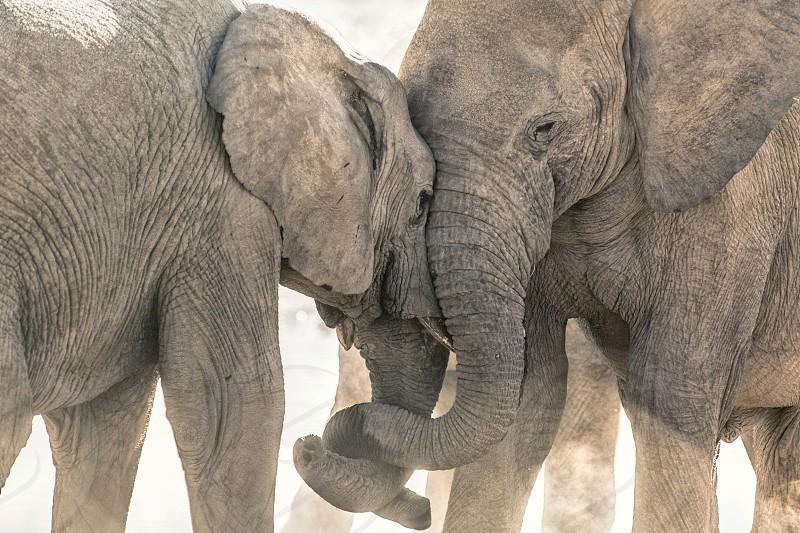 Elephants tussling in Etosha National Park Namibia. photo