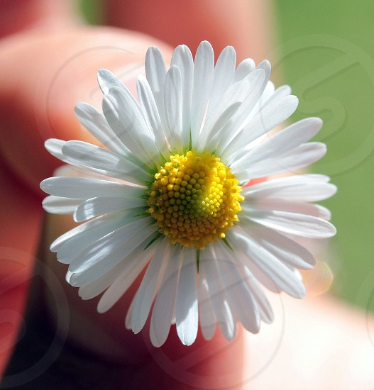 A perfectly round daisy flower photo