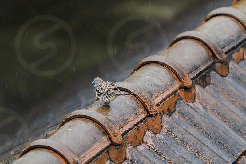 Wet Pigeon playing the rain on the old roof on a rainy day. photo