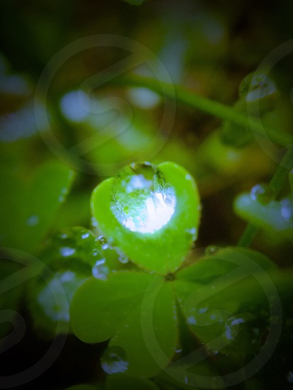 selective focus photography of dew on clover flower photo