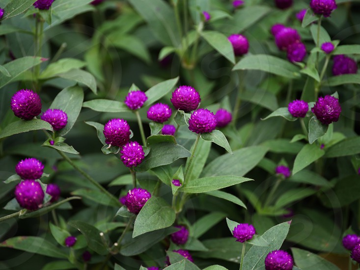 Purple flowers bush photo