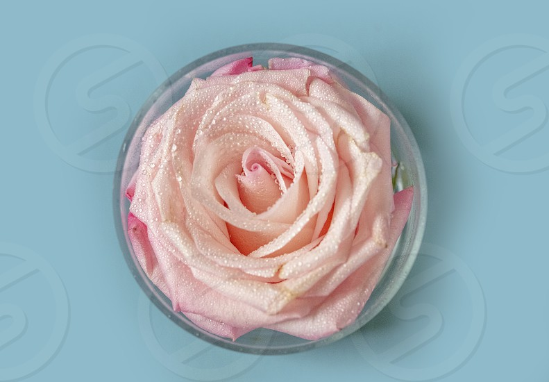 A pink rose in a circle vase with a baby blue background photo