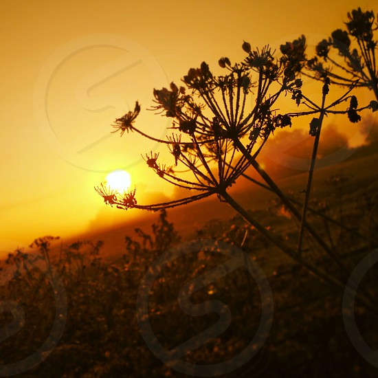 Cow parsley sunrise photo
