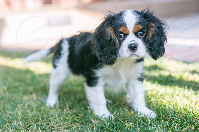 Cute St.Charles Spaniel puppy photo