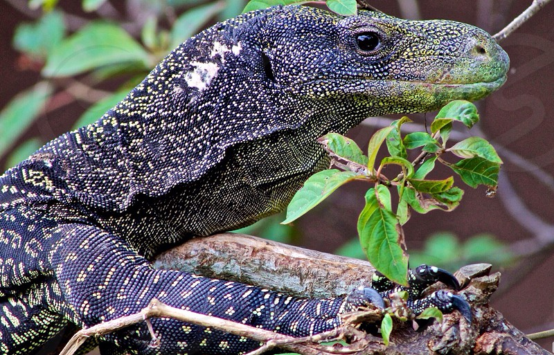 black green and brown lizard laying on branch  photo