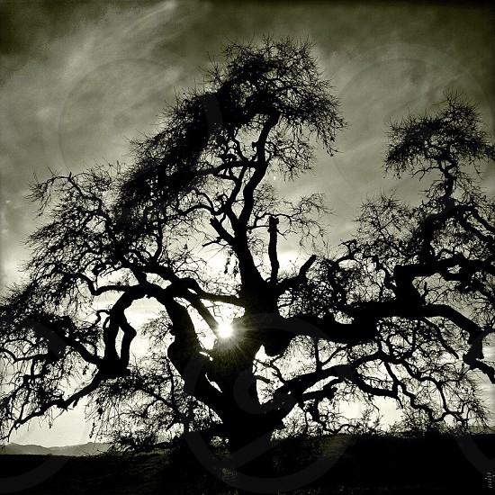Oak tree silhouette  photo