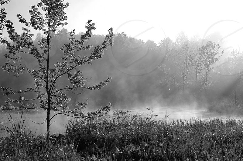 Tree. Sunlight beams. Mist. Monochrome. Black and White. photo