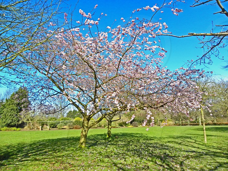 UNITED KINGDOM. LIVERPOOL. Calderstones Park is on the outskirts of the city centre this cherry tree is blossoming by the park's picnic area. photo