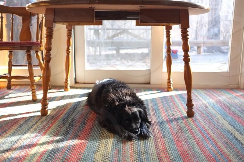 black dog under the table photo