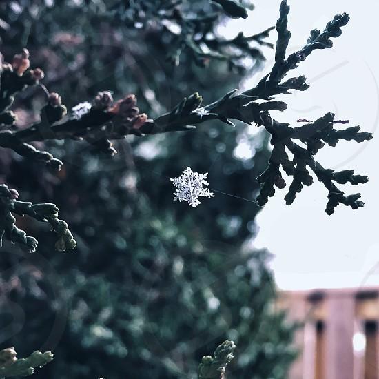 snow flake falling by a pine tree macro photo photo