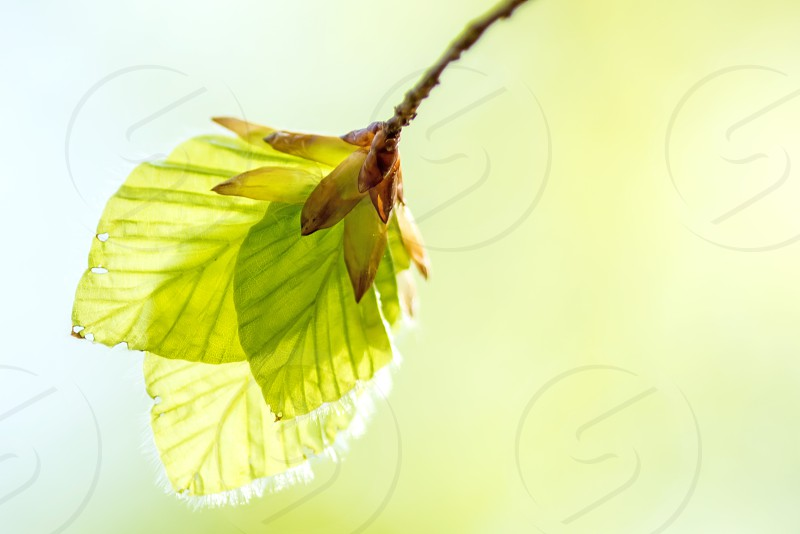 young birch leaves in soft spring light photo