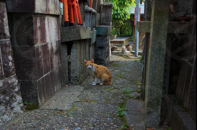 A cat in shrine photo