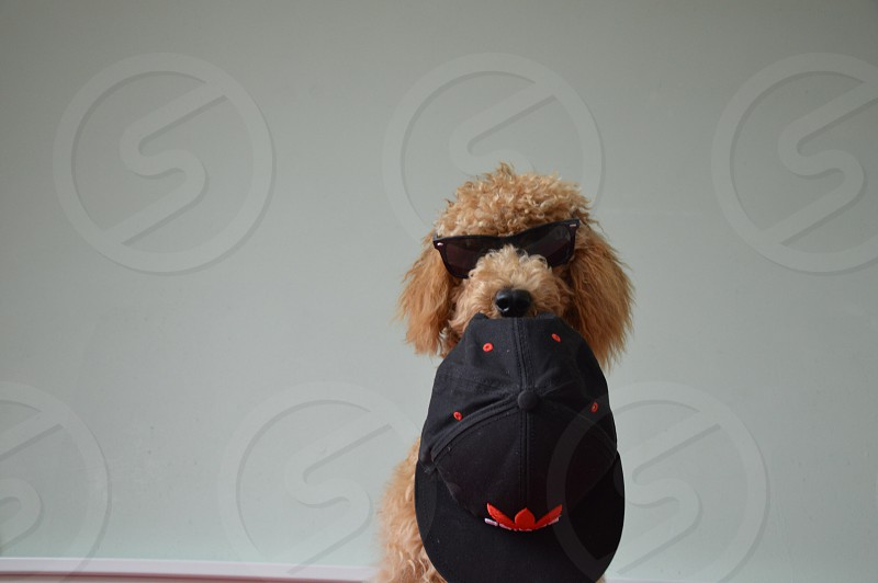 dog holding black and red adidas hat wearing sunglasses photo