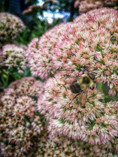 close-up photo of carpenter bee on pink flowers photo
