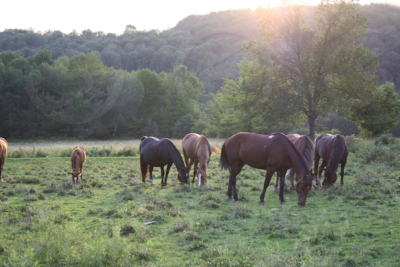 horses grazing in field evening lighting photo