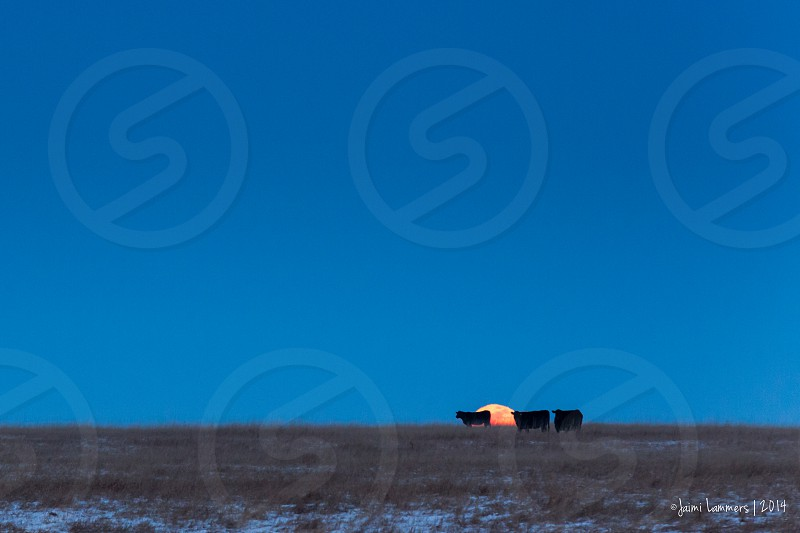 The moon rises over a pasture of Angus cattle. photo