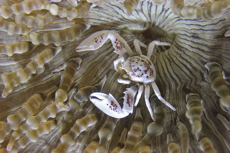 Porcelain Crab on Anemone photo