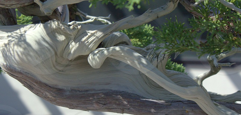 bonsai wood grain blonde wood tree photo