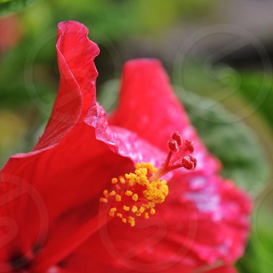 red hibiscus  photo