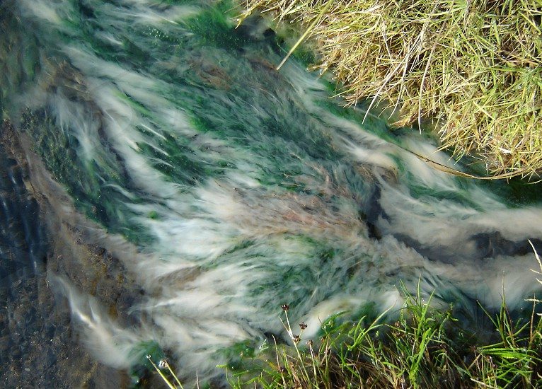 Mysterious nature in Iceland. Feathery organisms in water. photo