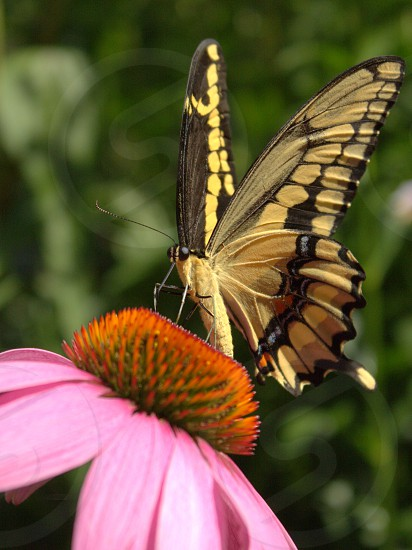 Giant swallowtail butterfly feeding on echinacea (coneflower) photo