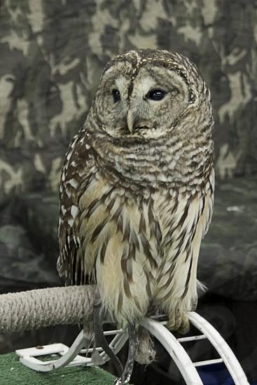 Owl on tether photo