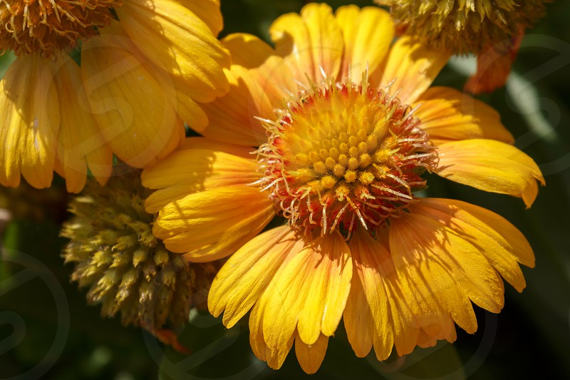 Yellow Daisy Cultivated Flower photo