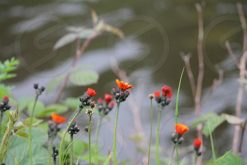 Orangewildflowersby the watercanalwaterdelicatenaturenatural photo
