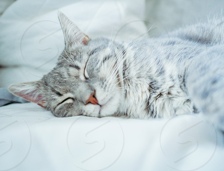 Adorable kitten sleep sleeping sleepy cute furry pretty nose whiskerssoft grey cat grey kitten  photo