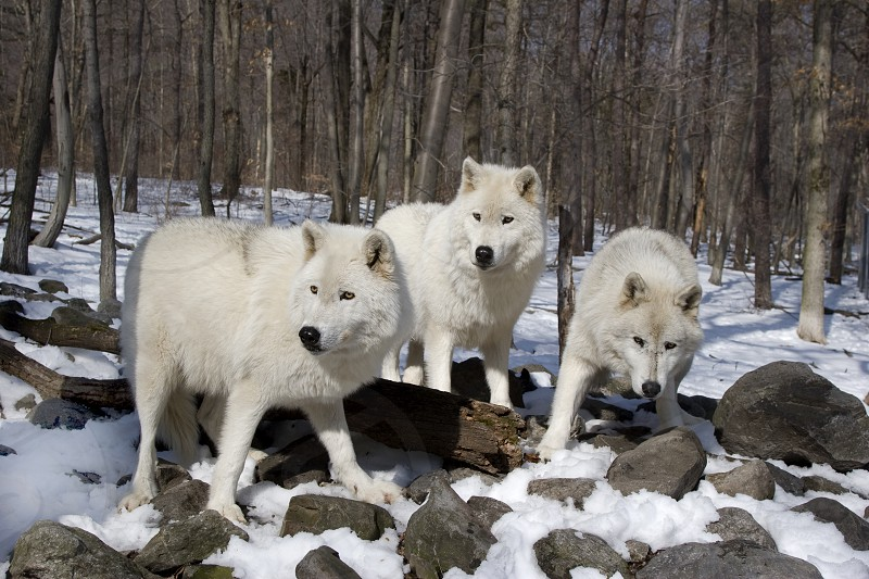 Arctic Wolves photo