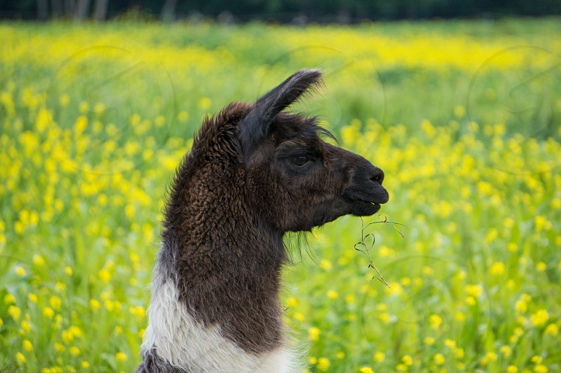 llama mammal animal eating individual single alert photo