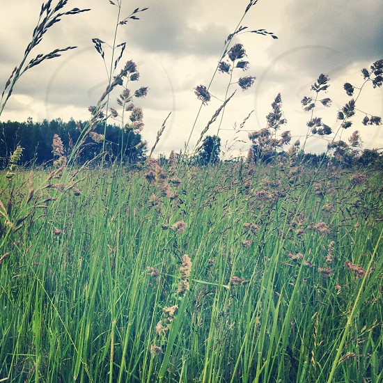 green grass with brown flower photo