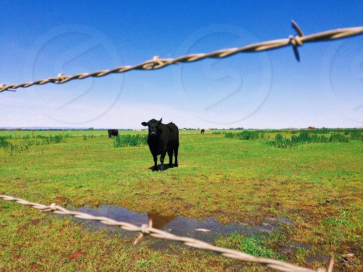 black bull in a pasture photo