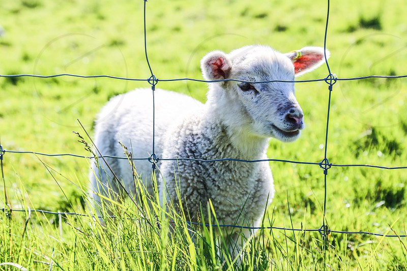 Pet portrait lamb sheep kid wool white lamb closeup green grass mammal cute photo