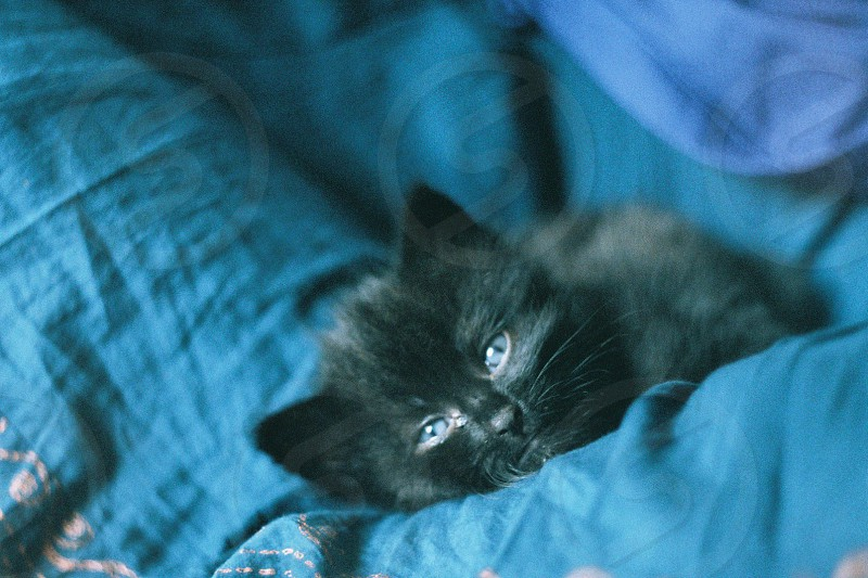 cat kitten blue eyes blue teal fabric pet photo